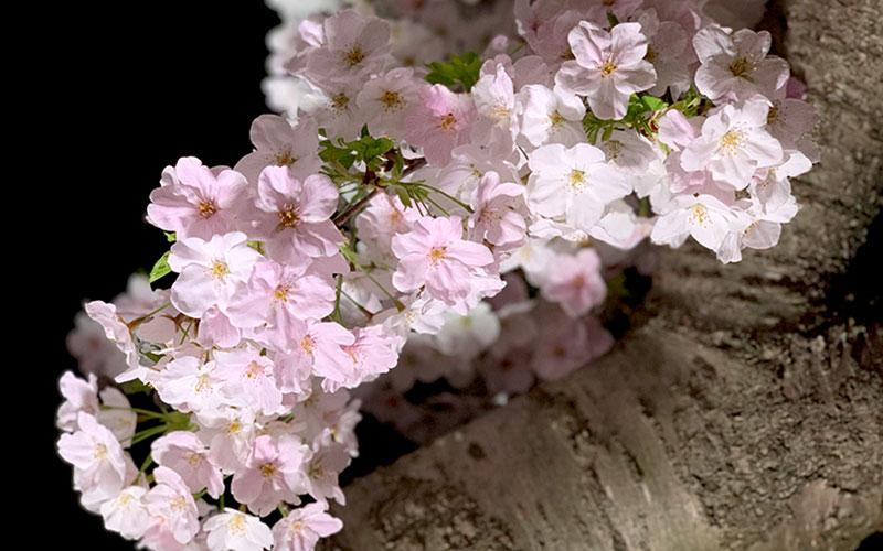 桜と千波湖。